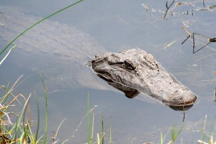 Alligator Closeup