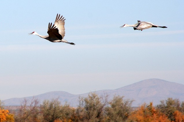 Cranes in Flight