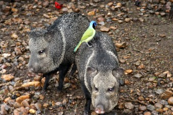 Javelina with Green Jay