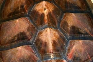 Loggerhead Shell