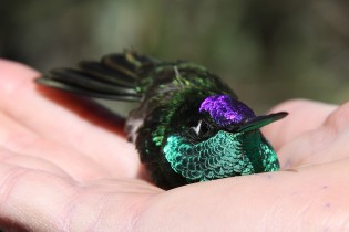 Truly Magnificent Hummingbird in My Hand