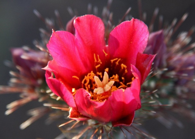 Backlit fuchsia Cholla flower (Cylindropuntia sp.)