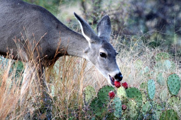 Mule Deer Eating Prickly Pear Fruit