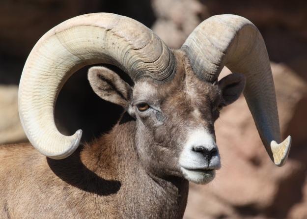 Bighorn Sheep Ram—Tucson, AZ.