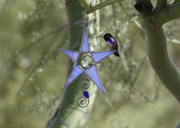 Star Hummingbird